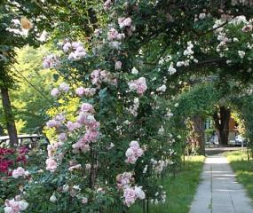 Tudi jeseni so vrtnice lepe  V parku Sv. Ivana v Trstu, sedaj lepo cvetijo!
