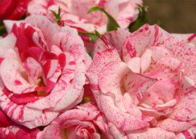 Pogovor o vrtnicah, kraljevskih rožah