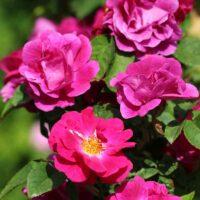 Program za 18. Slovenski dan vrtnic
